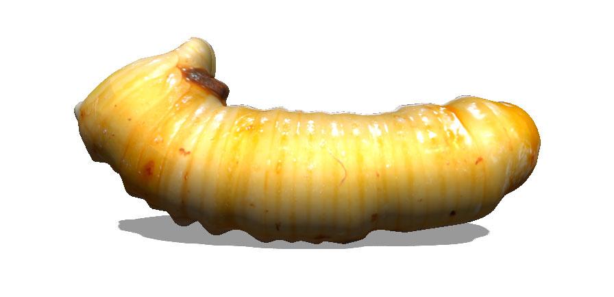 larva.jpg